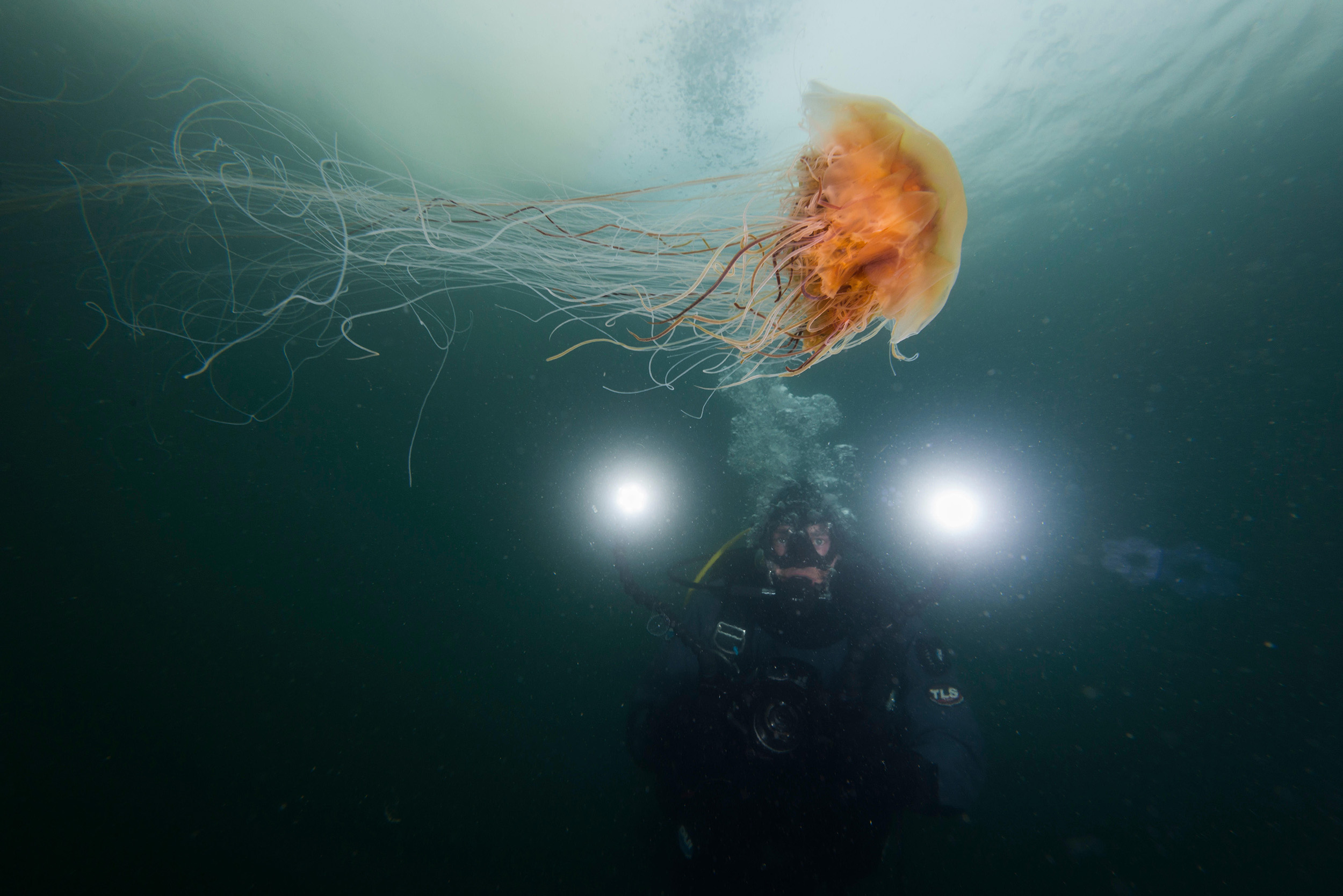 A diver swims alongside a lion's mane jellyfish in Alaska. Photo by Justin Hofman/Alamy Stock Photo