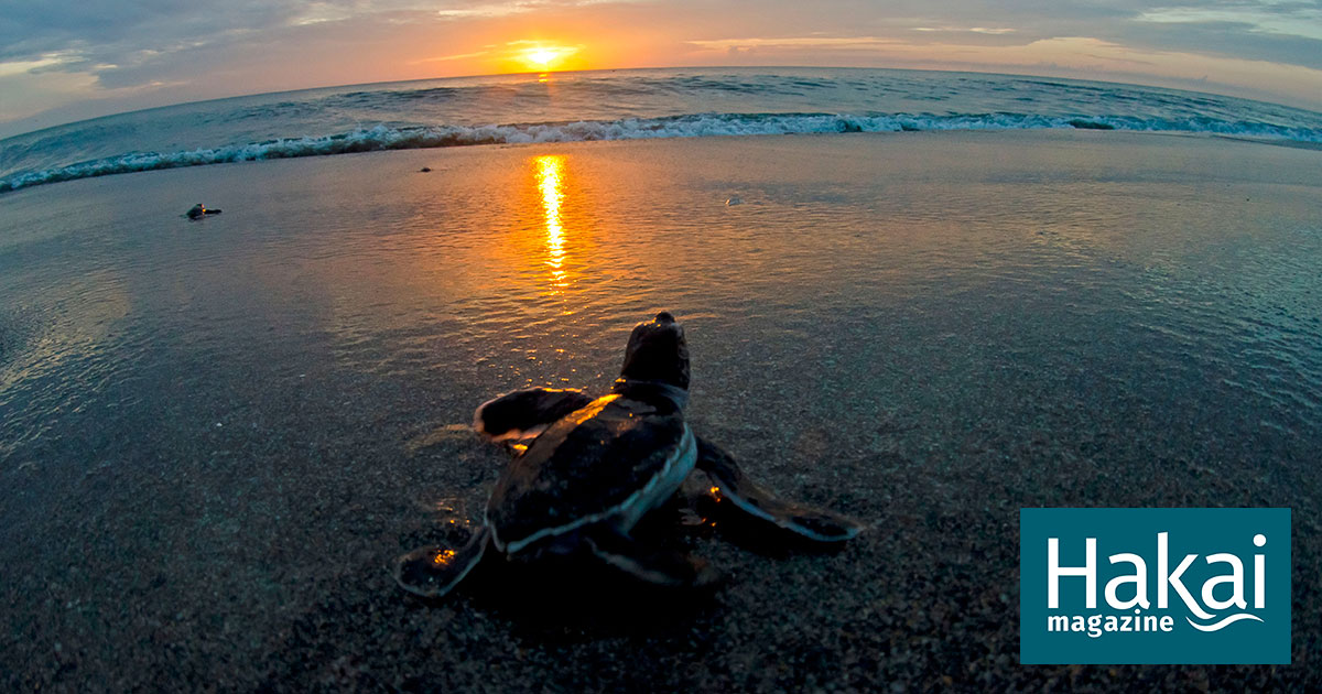 Bright Lights and Dark Nights: The Challenge Facing Sea Turtles in the City | Hakai Magazine