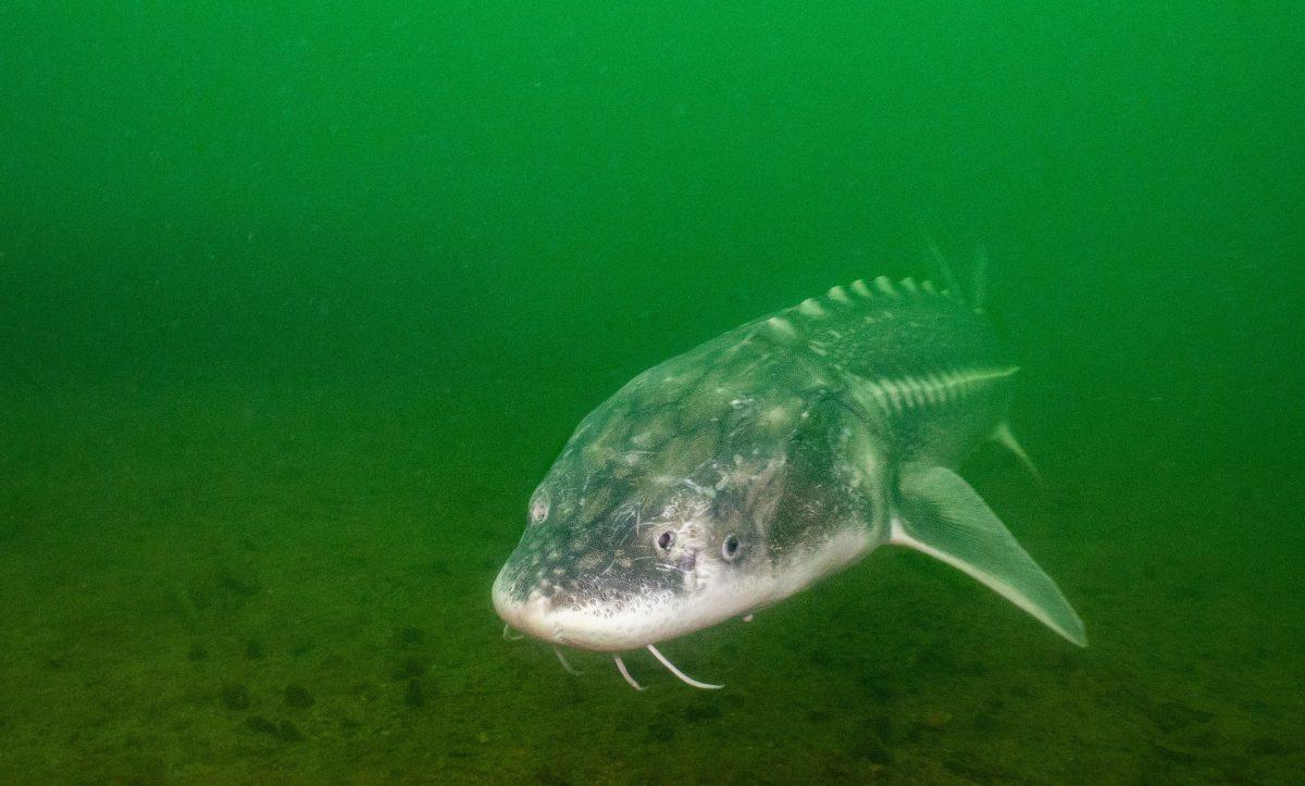 white sturgeon
