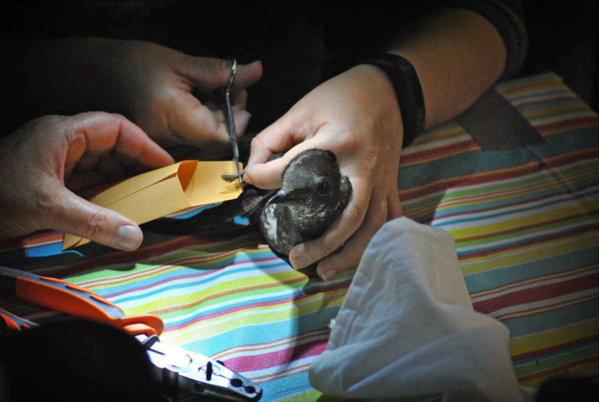 A researcher snips a breast feather from a marbled murrelet aboard the RV Pacific Storm. The feather will be used to determine what the murrelet was eating prior to the breeding season.