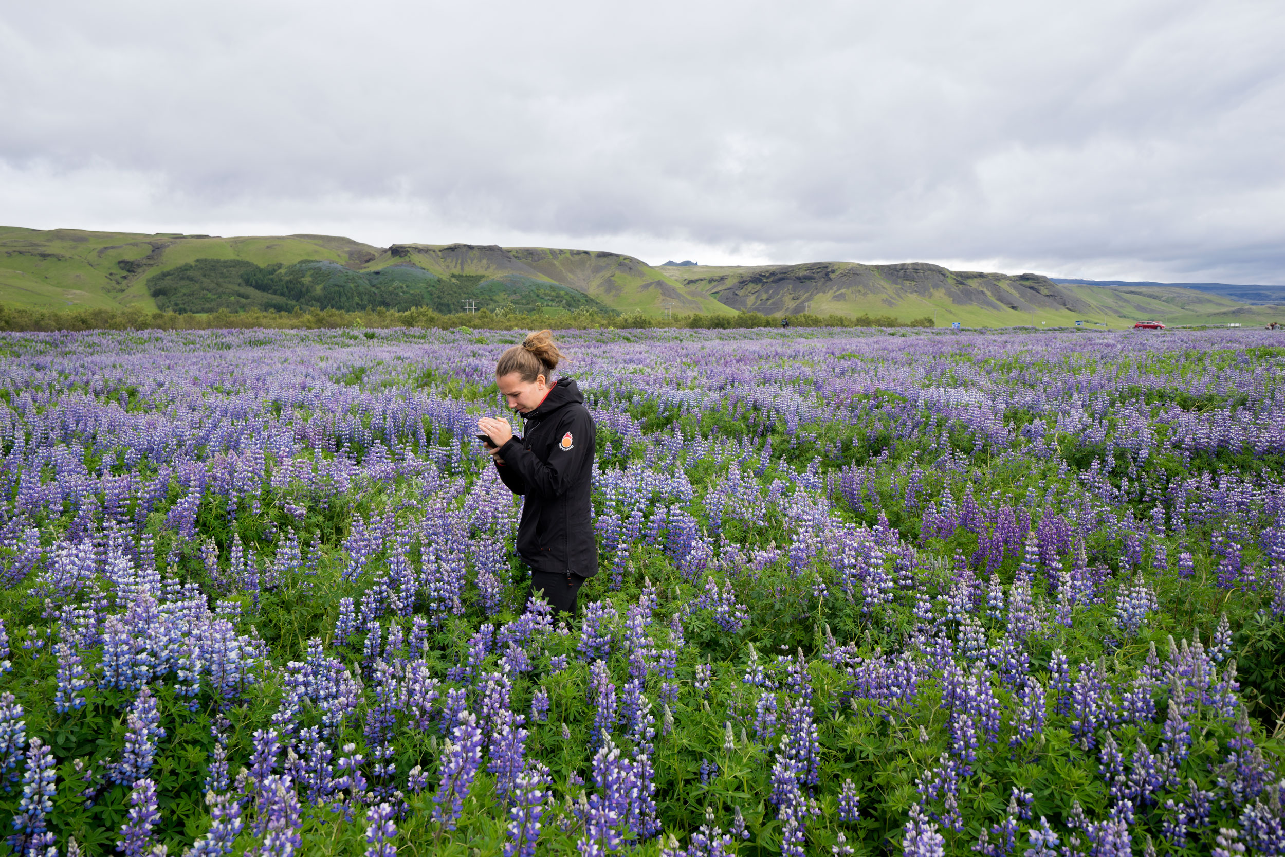 woman in a field of lupine in Iceland