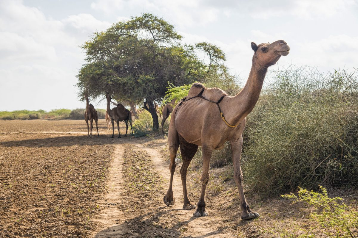 Wildlife Conservation Jobs - a Kachchhi camel strolls across a farmer's field