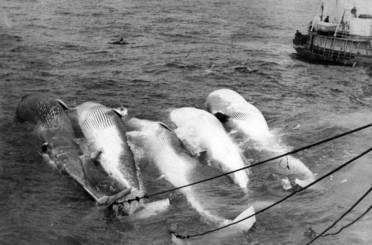 Five fin whales being towed behind a Soviet whaling ship