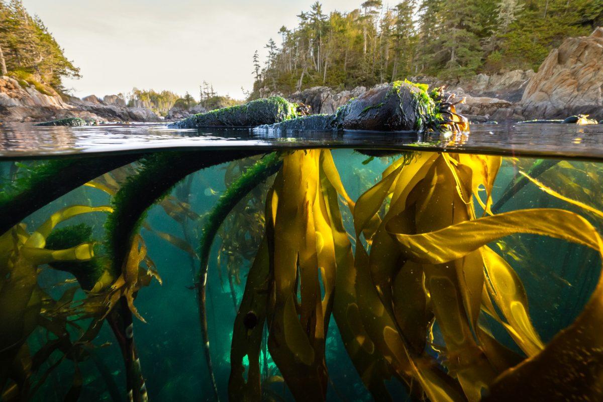 bull kelp, British Columbia