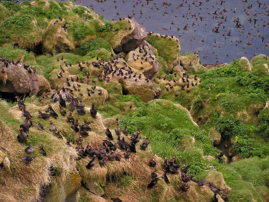 auklets in the Aleutian Islands
