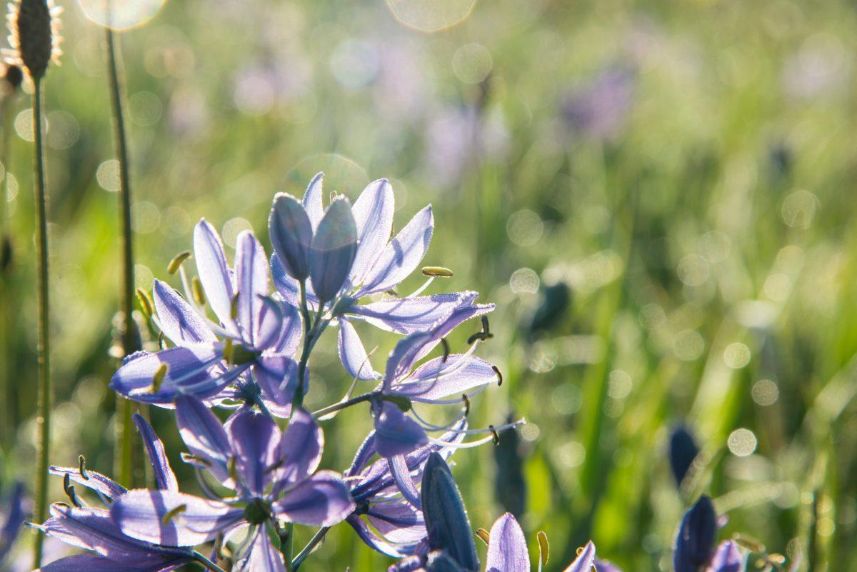 close up of camas flower