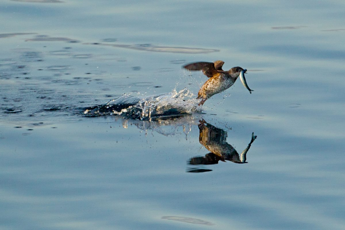 Marbled murrelet flying over the water with a small fish in its mouth