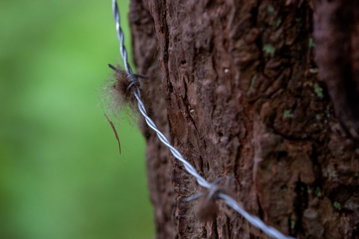 a barbed wire fur trap
