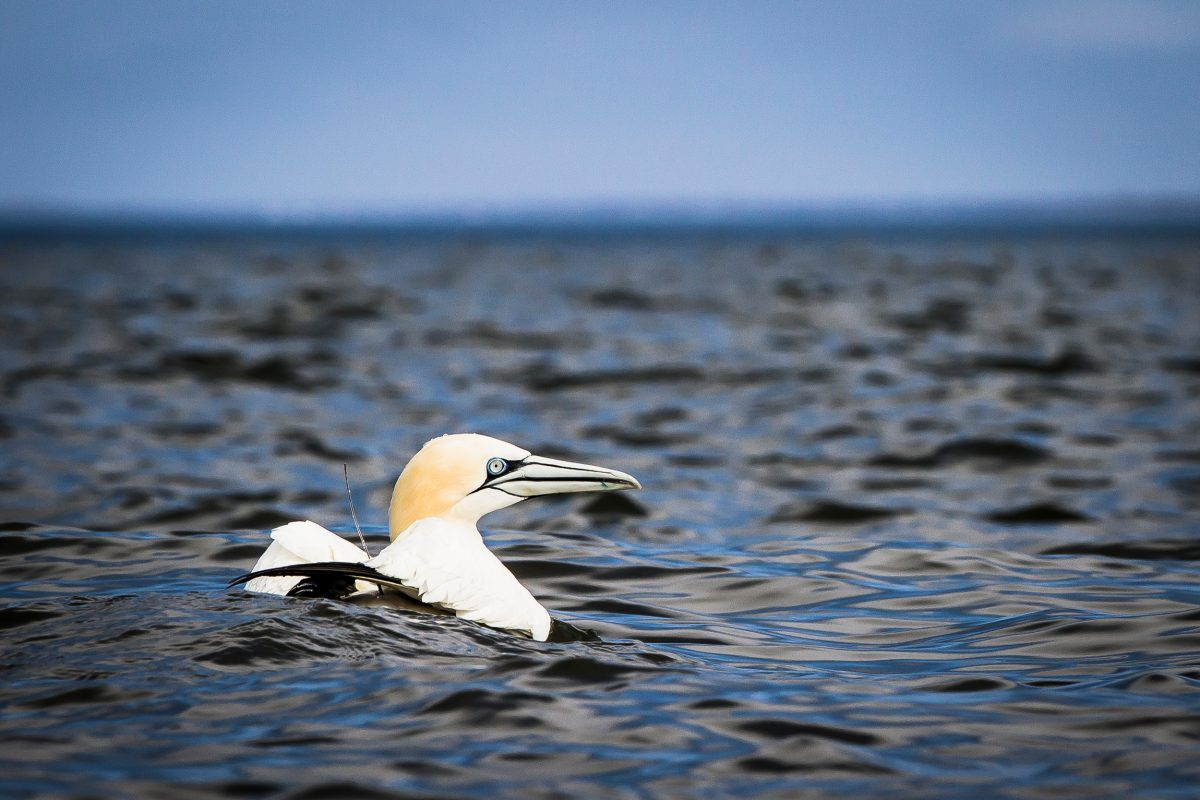 a northern gannet with a satellite tracker
