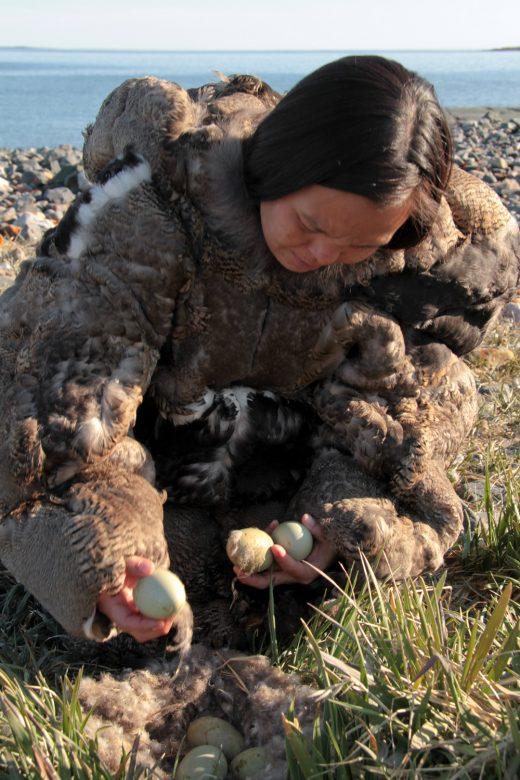 Collecting Eiderdown in a (Polar) Bear Market   Hakai Magazine