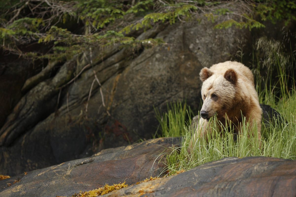 Grizzly Bear (Ursus arctos horribilis) in the Great Bear Rainforest