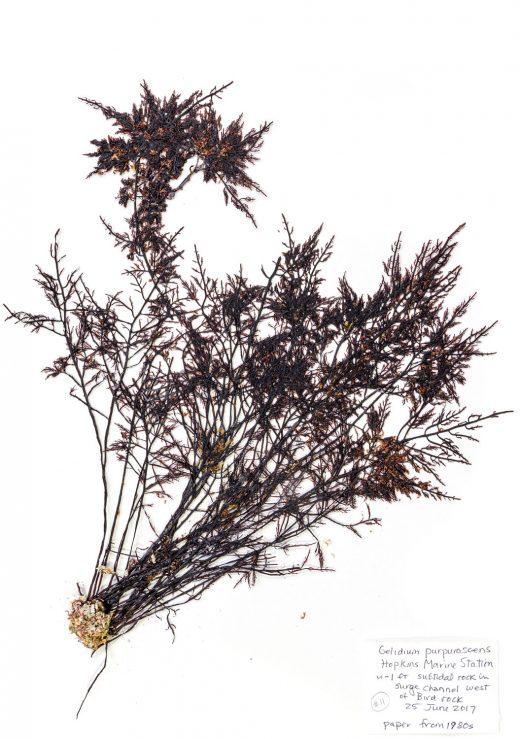 Gelidium seaweed