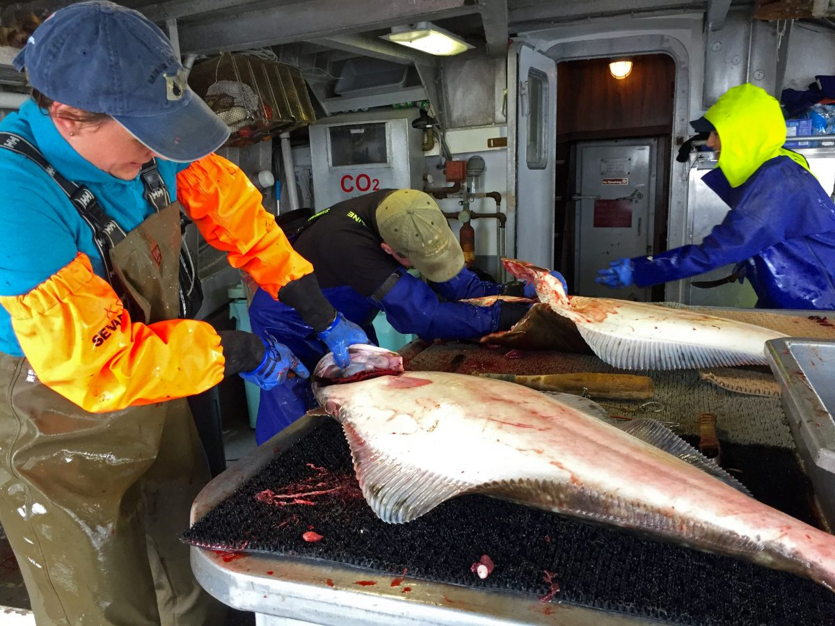 The crew of the Borealis I—Kyla Savage, Pete Wyness, and Tiare Boyes—remove the guts, gills, and gonads from freshly caught halibut. Photo by Larry Pynn