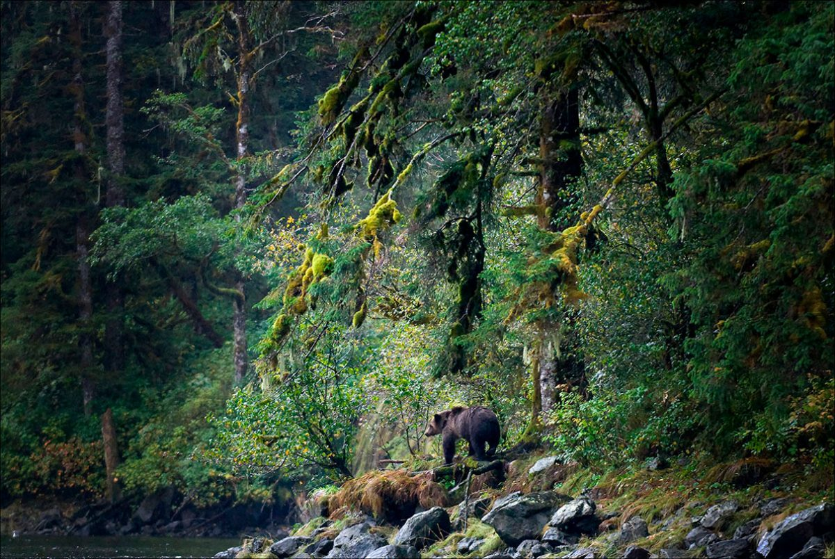 A mother grizzly searches for her cub in Mussel Inlet