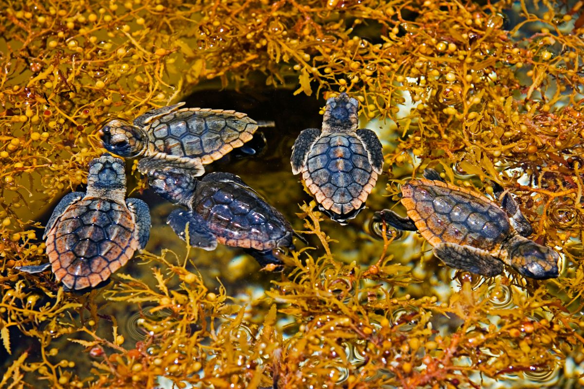 loggerhead turtle hatchlings taking refuge among sargassum