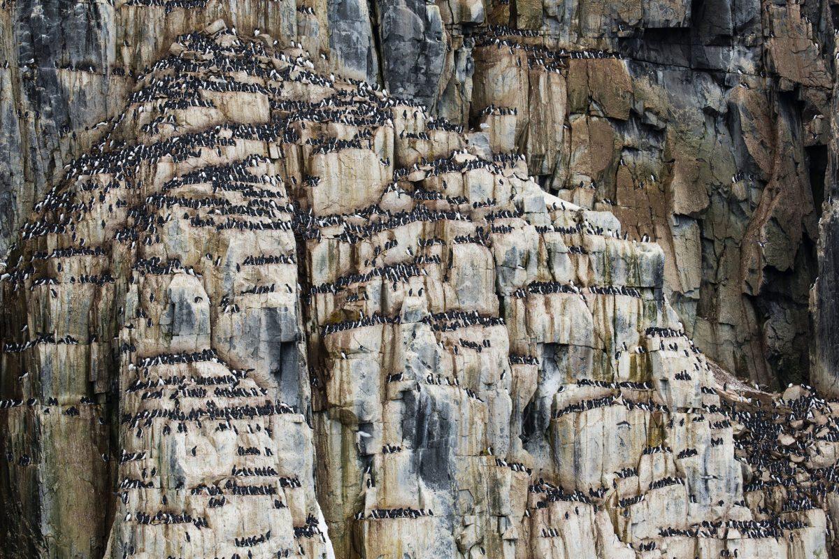 guillemot colony, Svalbard