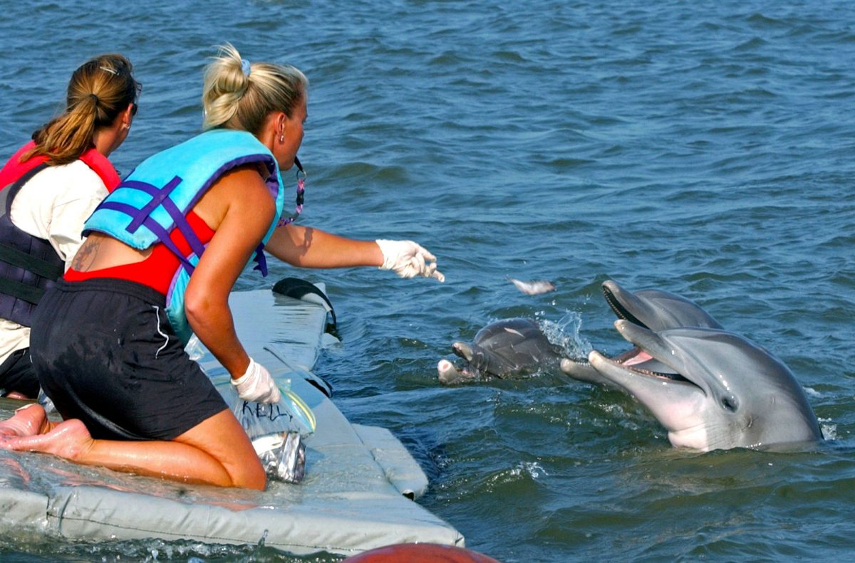 Trainers feeding dolphins that escaped from Marine Life