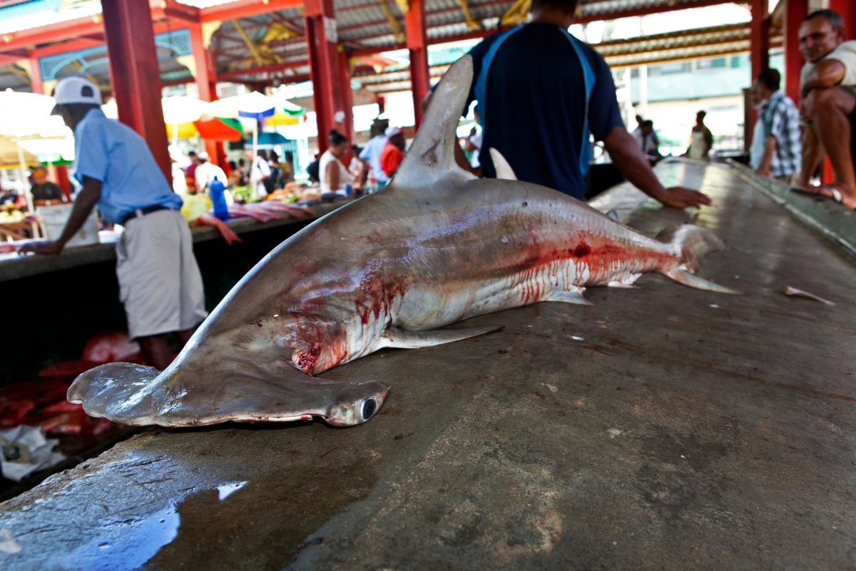 hammerhead shark for sale at fish market, Seychelles