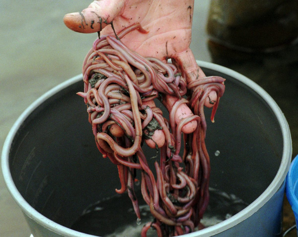hand holding bloodworms over a bucket