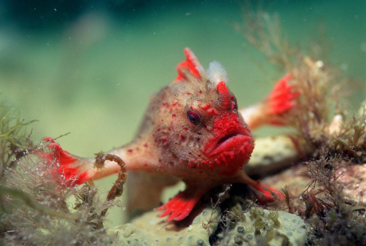 Red handfish (Brachyionichthys politus) Tasmania, Australia