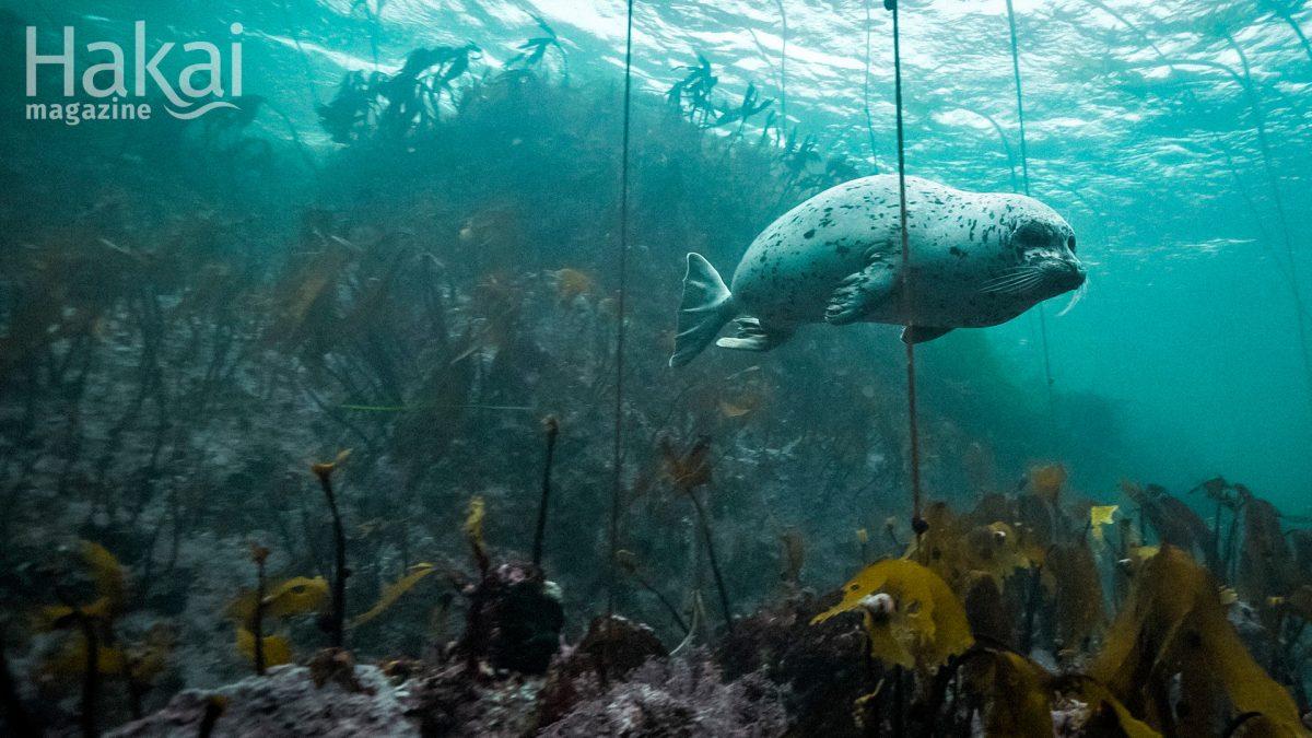 harbor seal underwater free zoom background