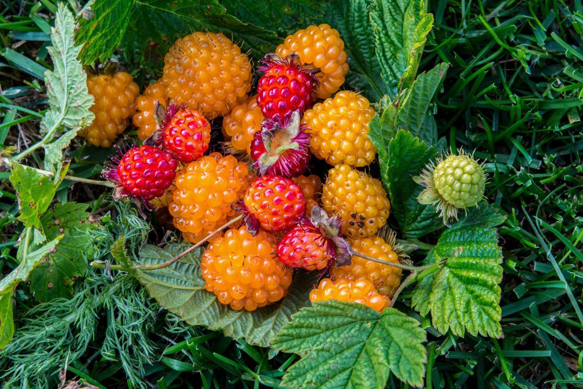 slamonberries