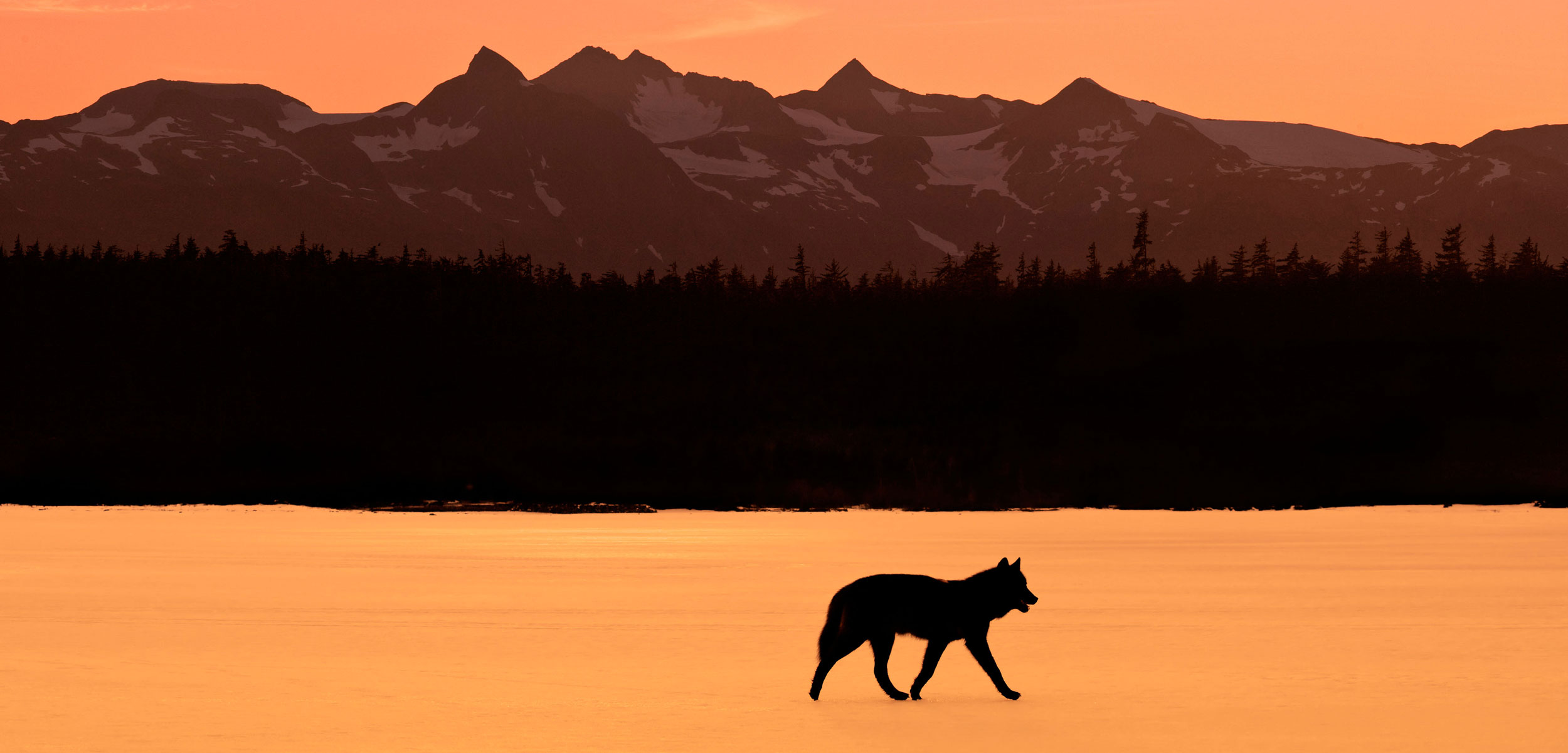 wolf Tongass National Forest, Alaska