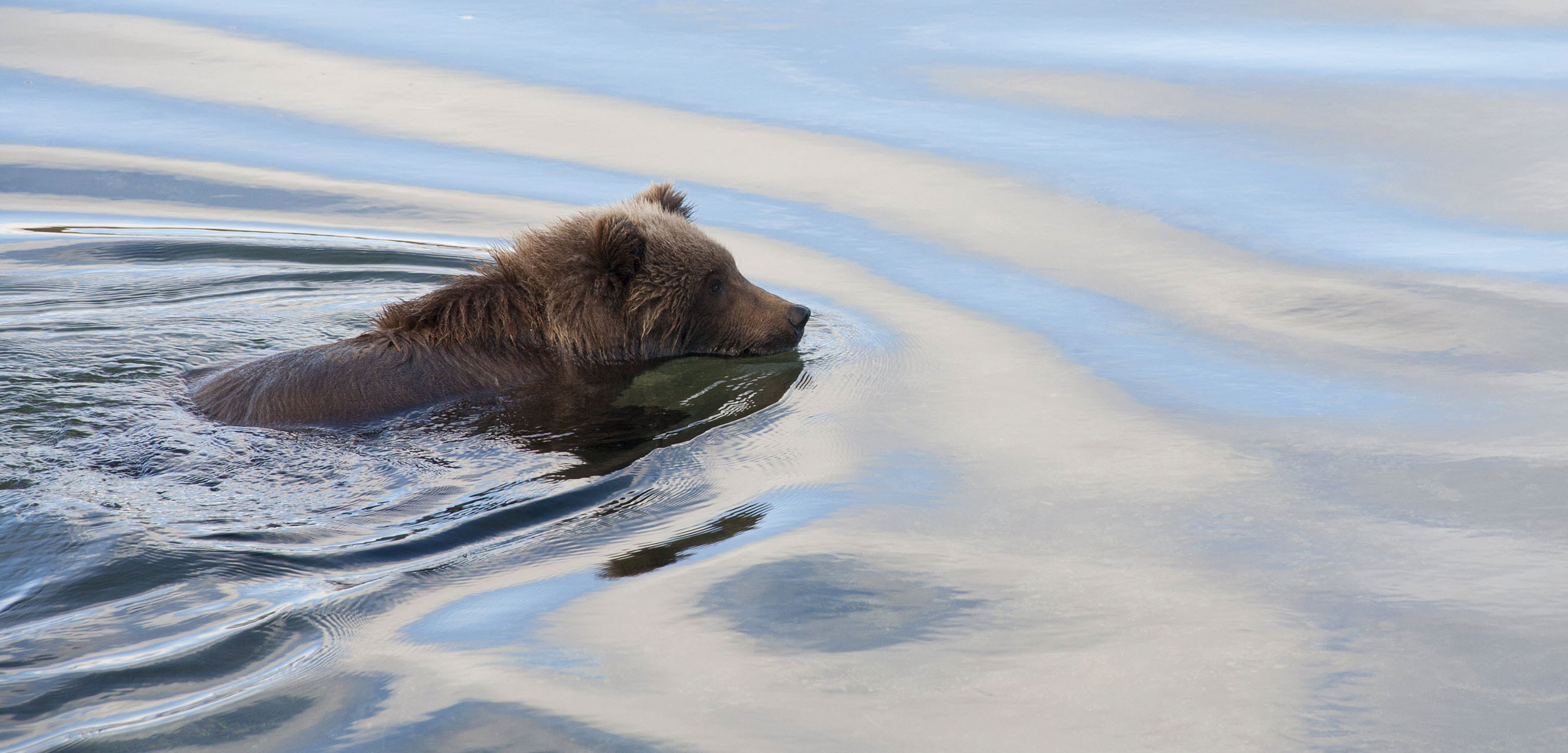 brown bear swimming in Alaska