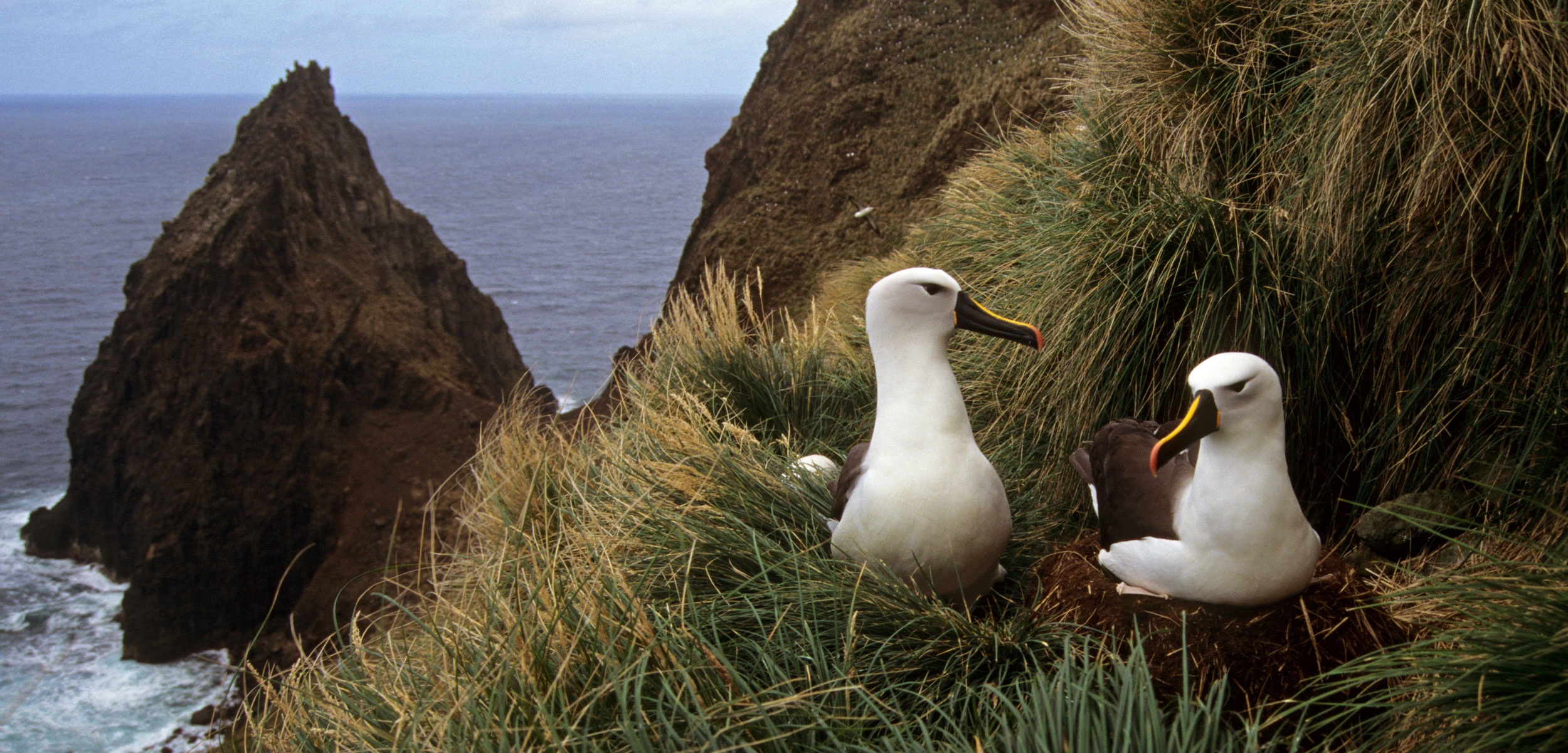 Atlantic yellow-nosed albatross (Diomedea, Thalassarche chlororhynchos) pair at nest, Amsterdam Island