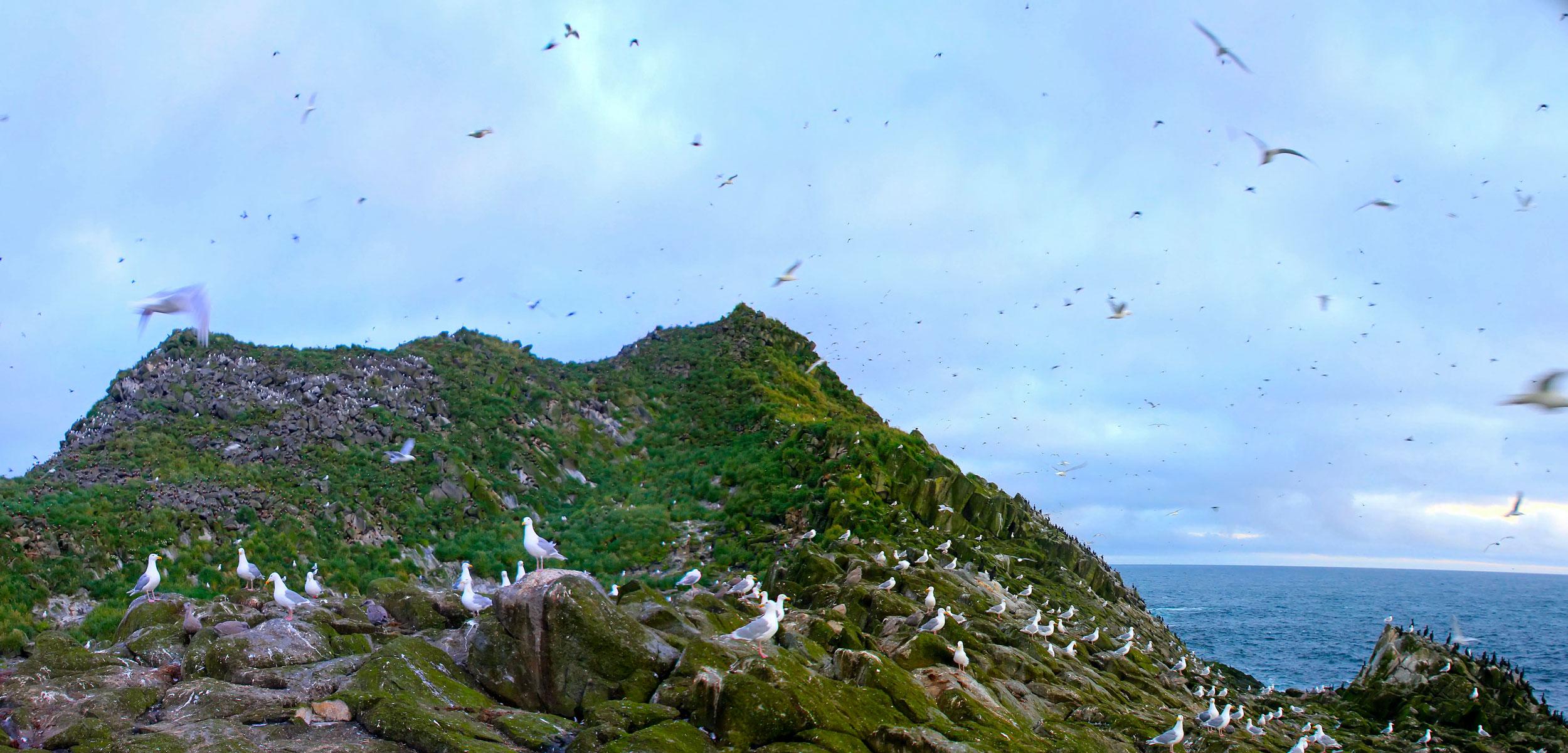 birds flocking in the Aleutian Islands