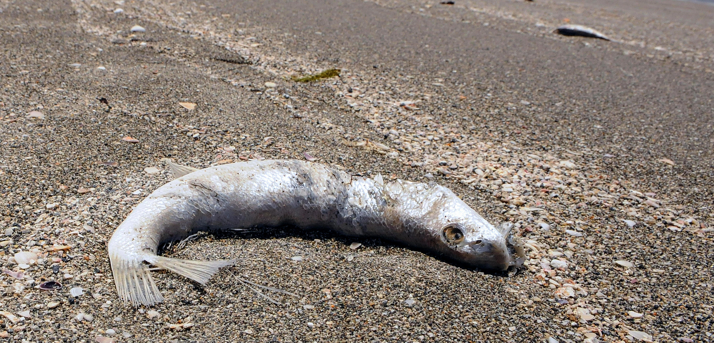 dead fish on beach due to red tide