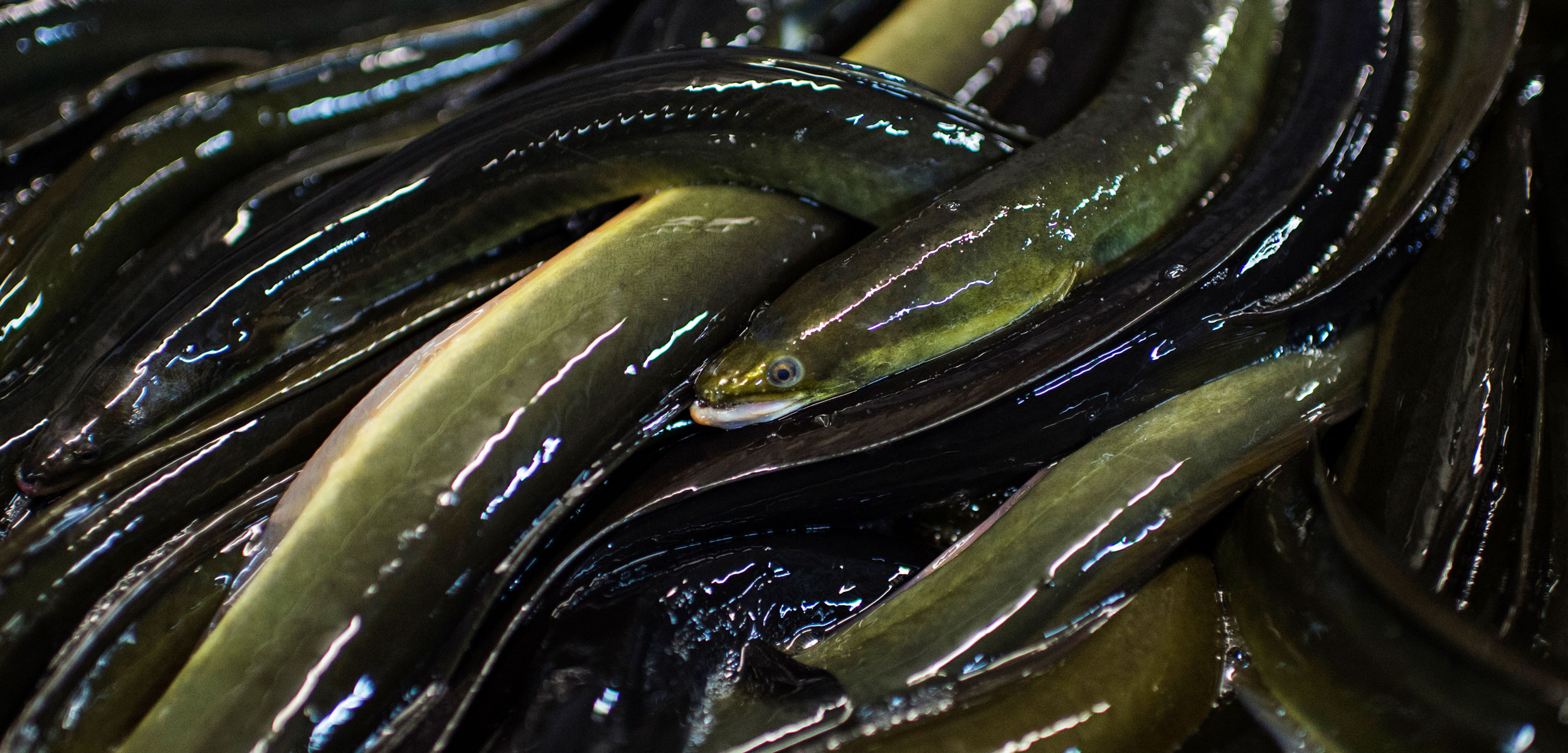 a tangle of mature eels in a processing plant