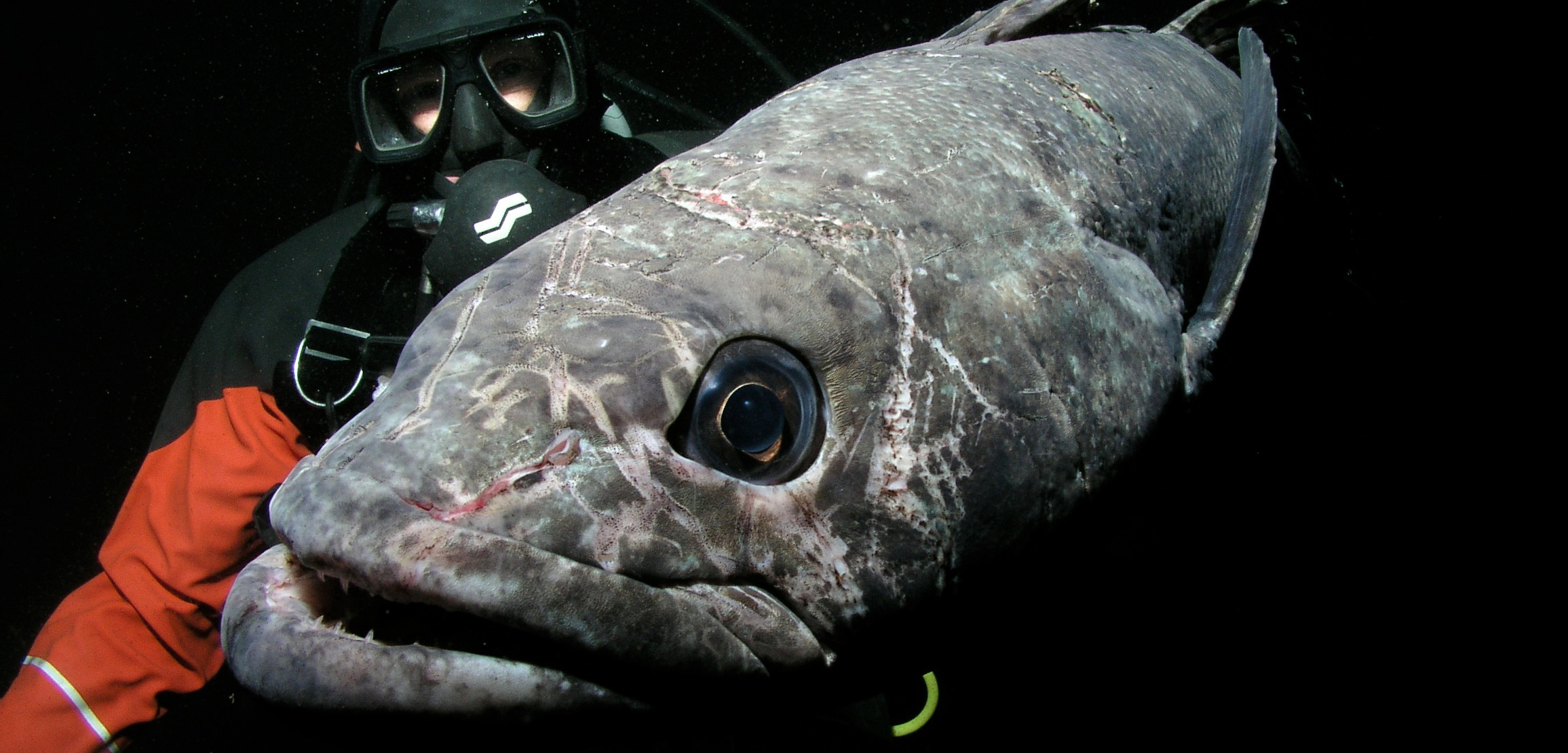 Antarctic toothfish, aka Chilean sea bass, are a prized catch in the Southern Ocean. Until recently, very little was known about their reproduction. Photo by Rob Robbins/USAP