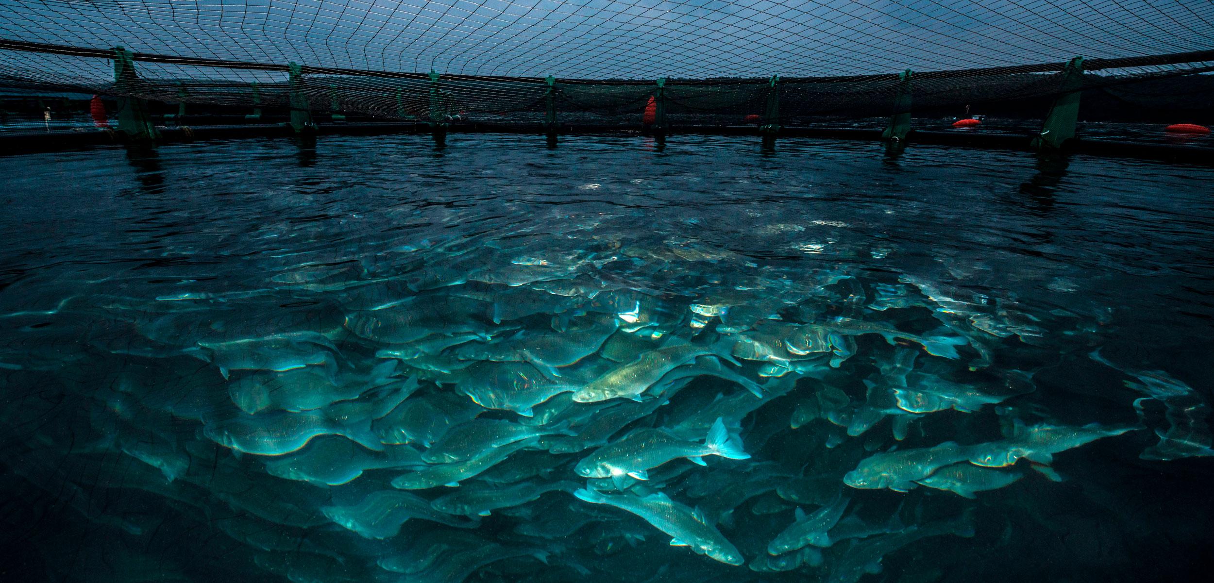 European Seabass farm