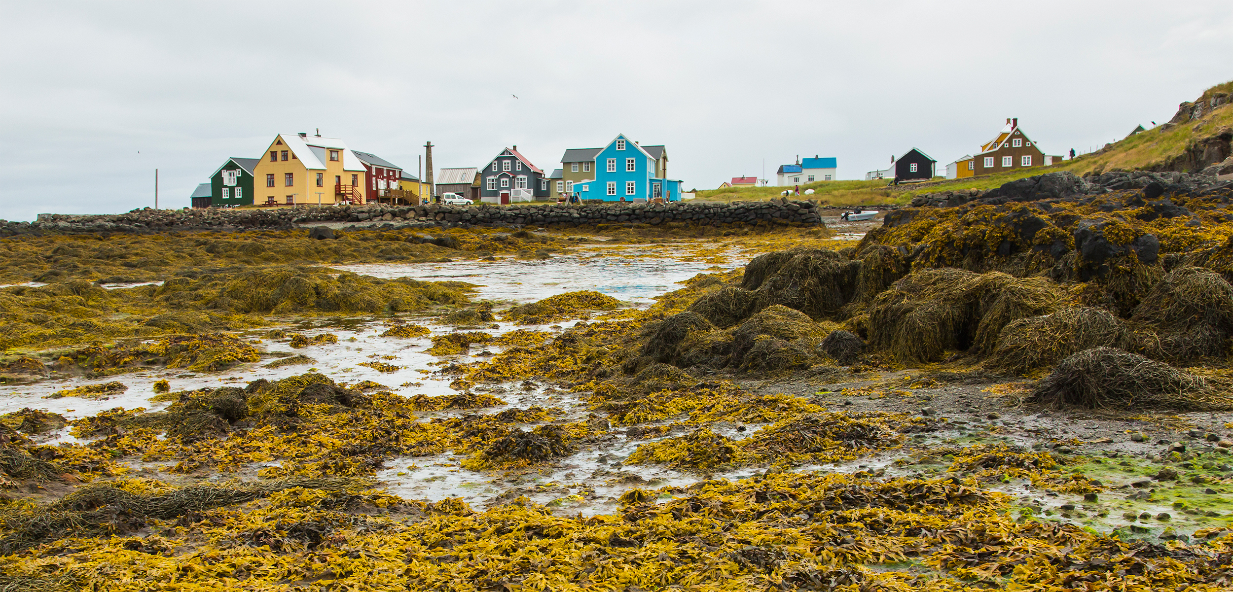In one Icelandic community, wild rockweed is an economic blessing. Seasonally, workers harvest, dry, and export wild rockweed for animal feed. Photo by Ralph Lee Hopkins/Getty