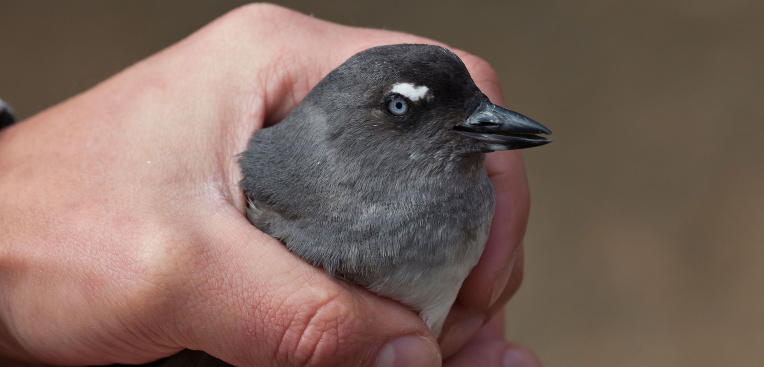 Researcher holding a wild Cassin's Auklet, Ptychoramphus aleuticus
