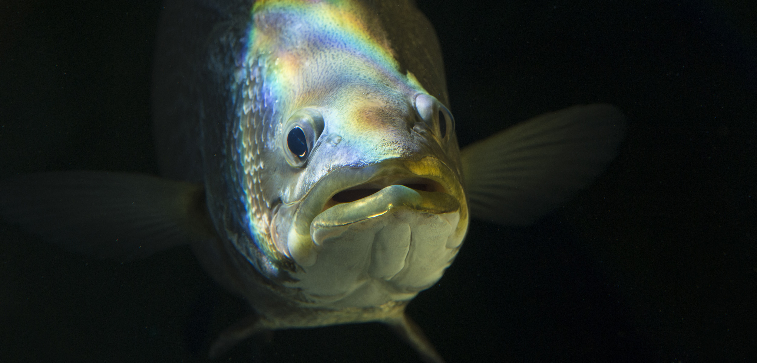 a barramundi fish underwater