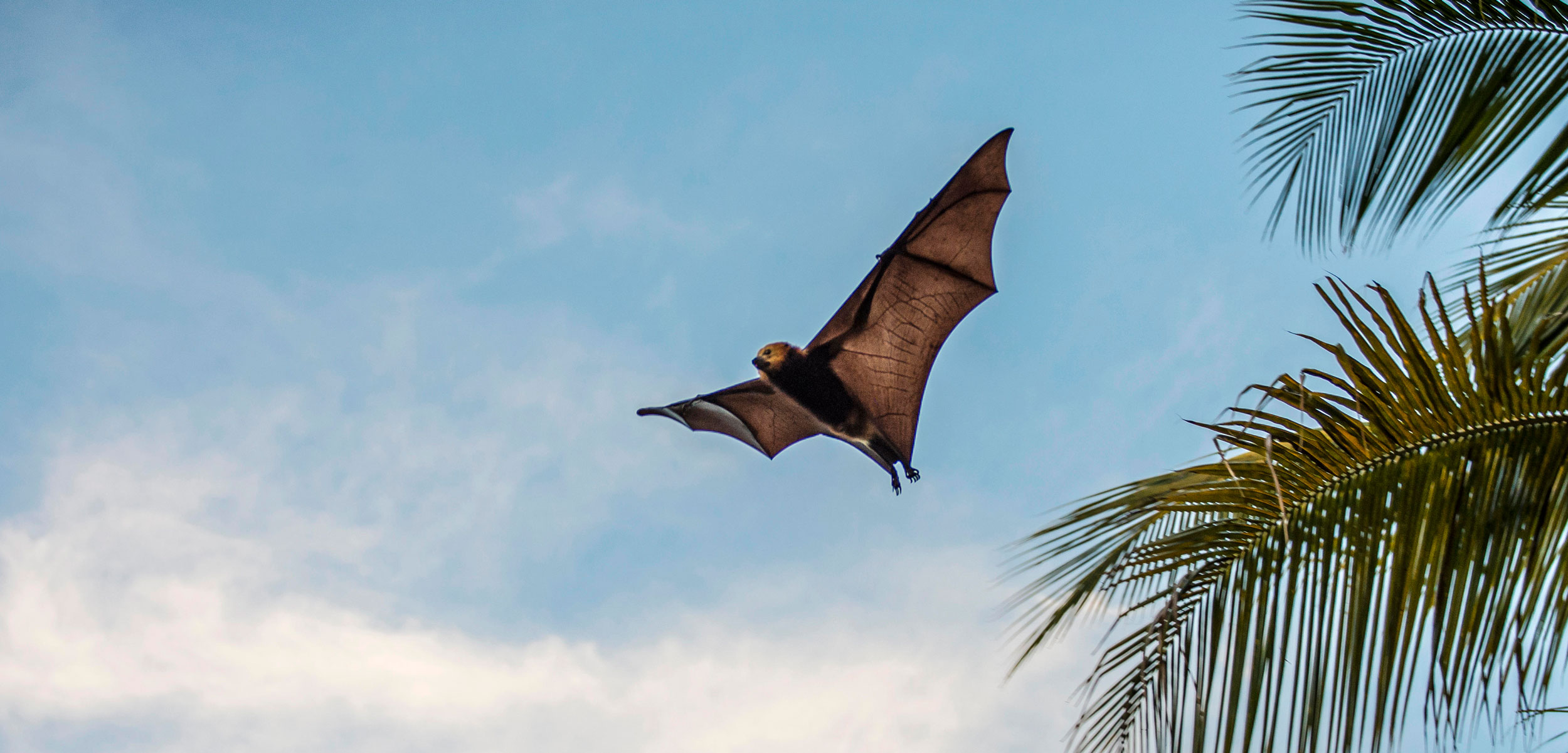 bat flying Mauritius