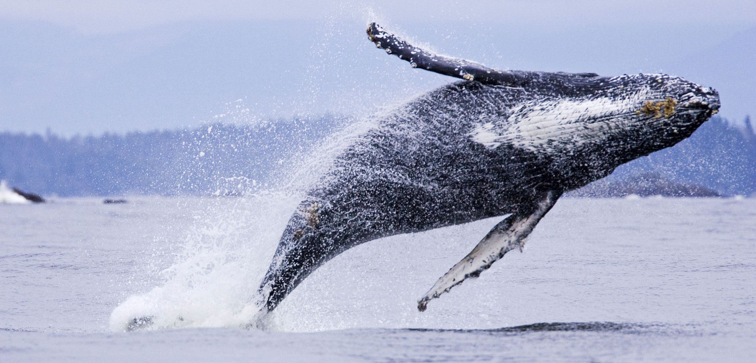 humpback whale breaching in British Columbia
