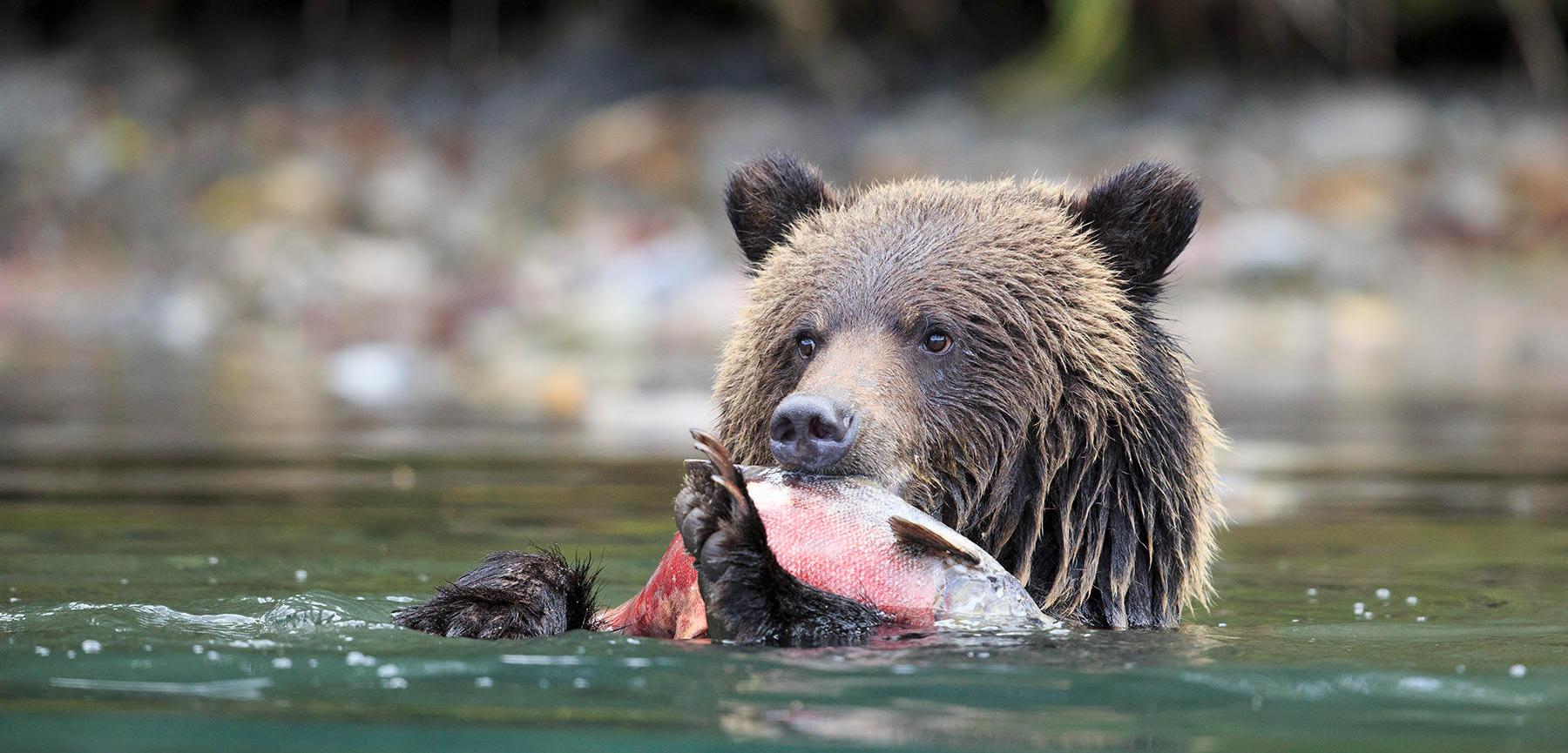 grizzly bead eating a slamon