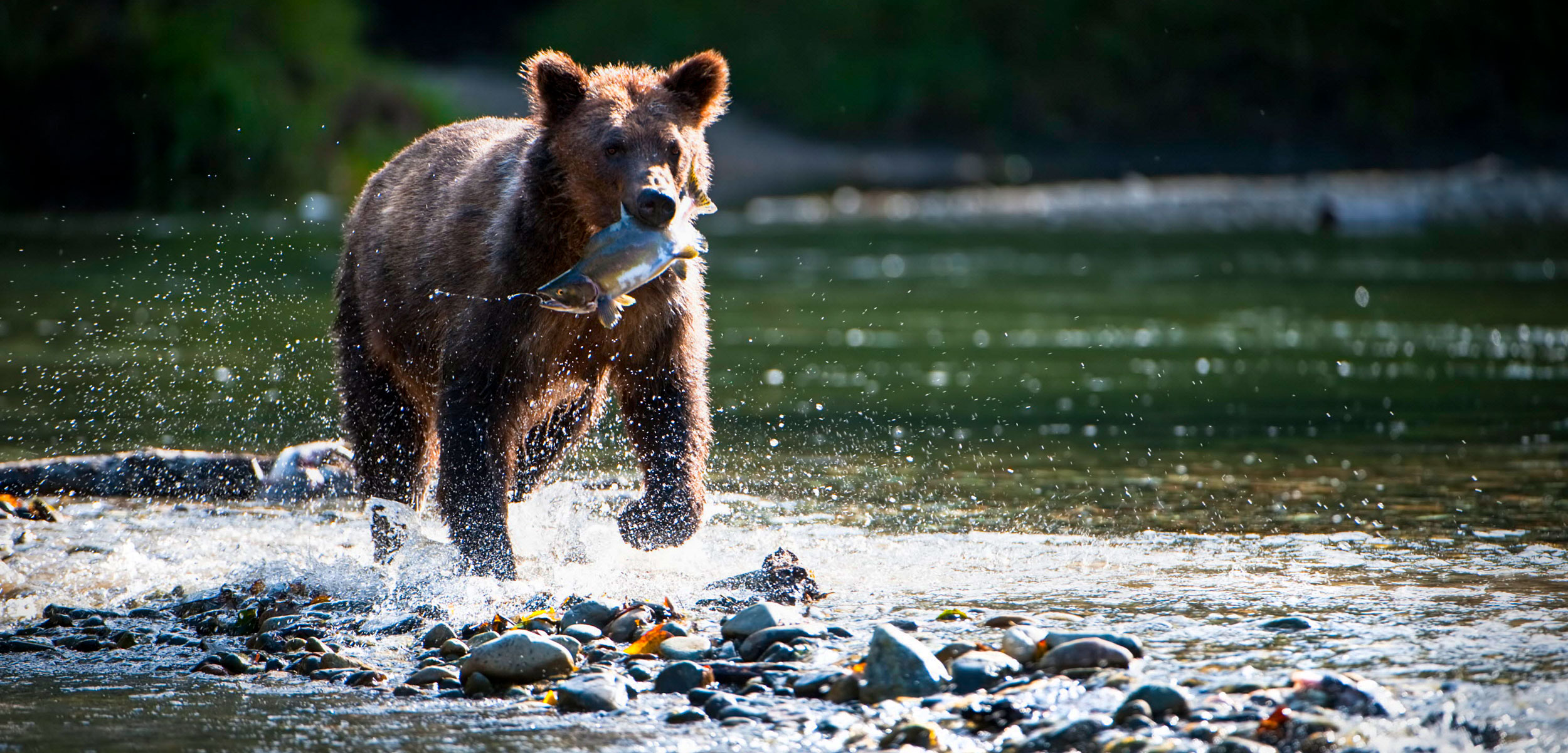 rizzly bear (Ursus arctos horribilis) running through water carrying Pink salmon (Oncorhynchus gorbuscha)