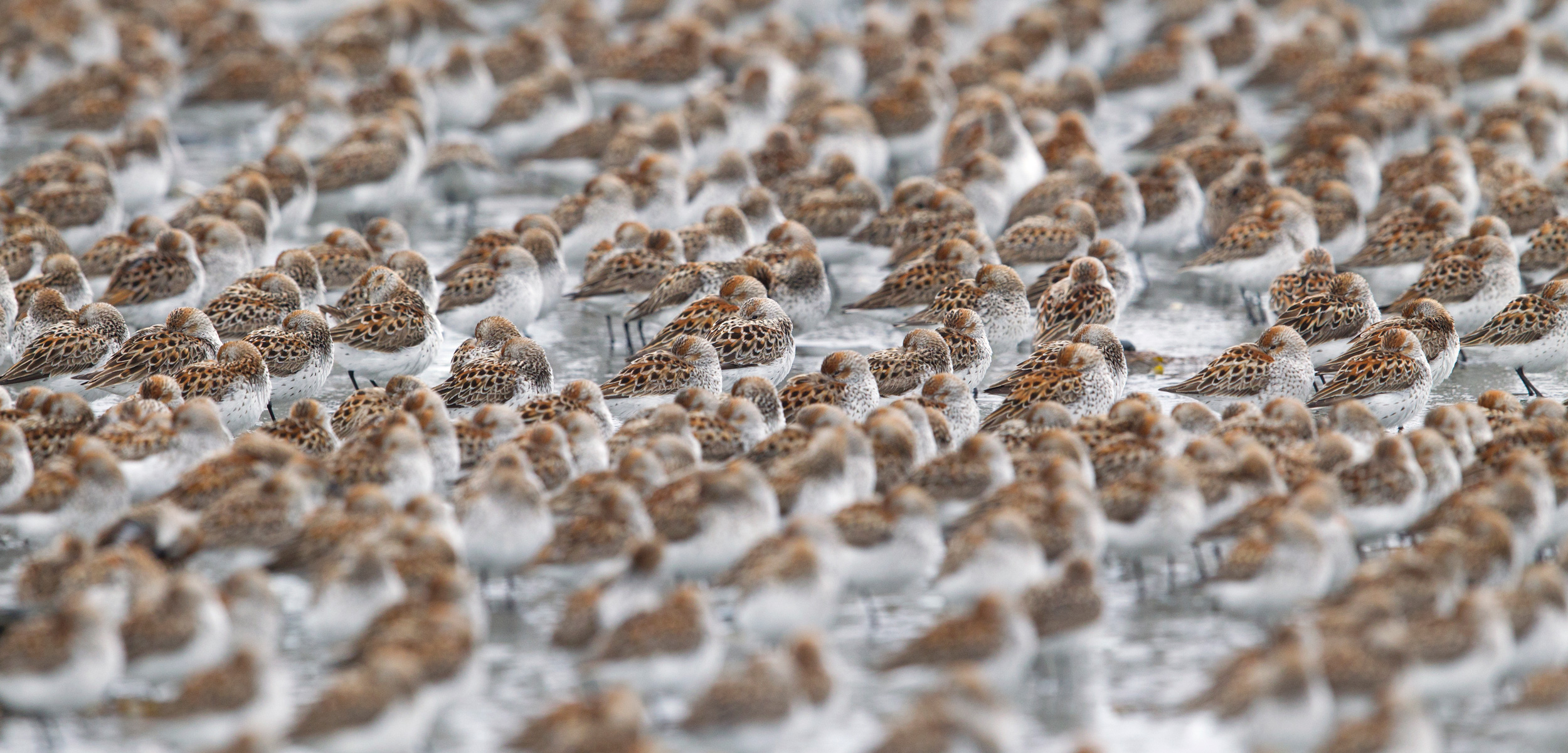 Western sandpipers flock by the thousands during migration, one of the natural world's great spectacles. Photo by Donald M. Jones/Minden Pictures