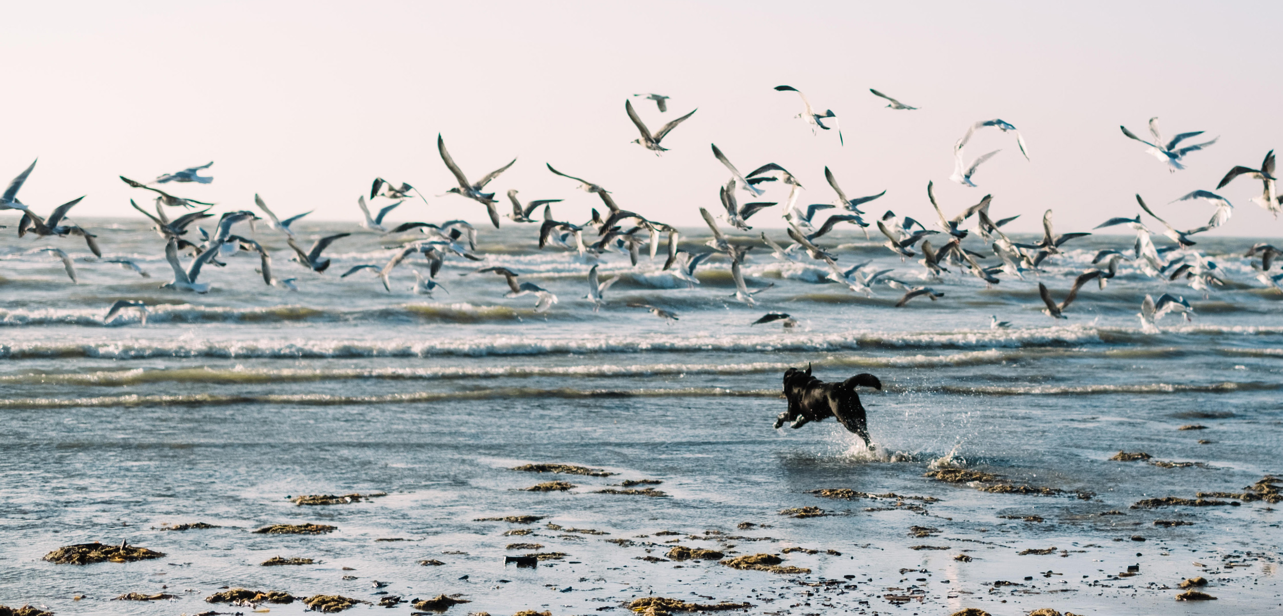 dog running at gulls on a beach
