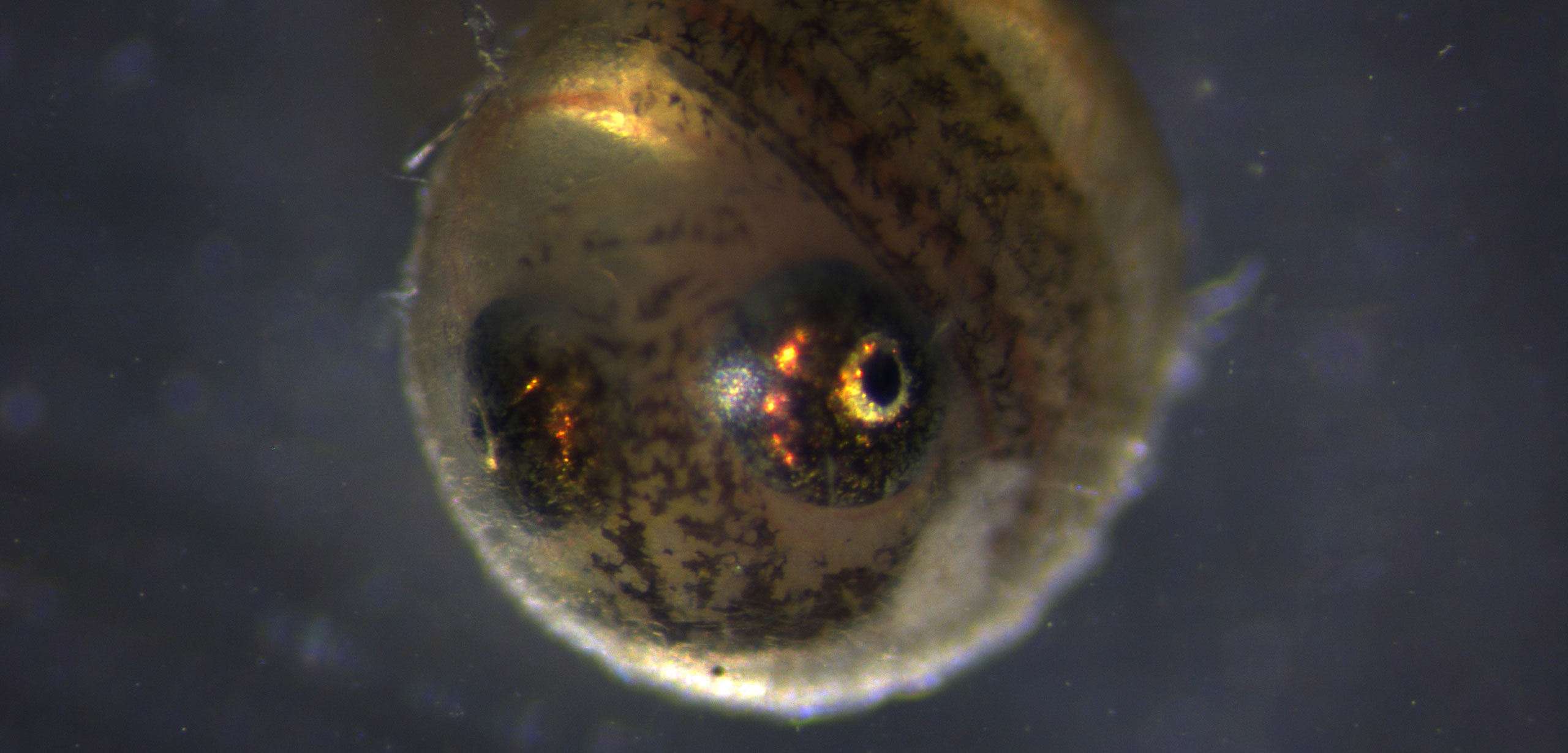 killifish egg that was eaten by a coscoroba swan, seven days before hatching