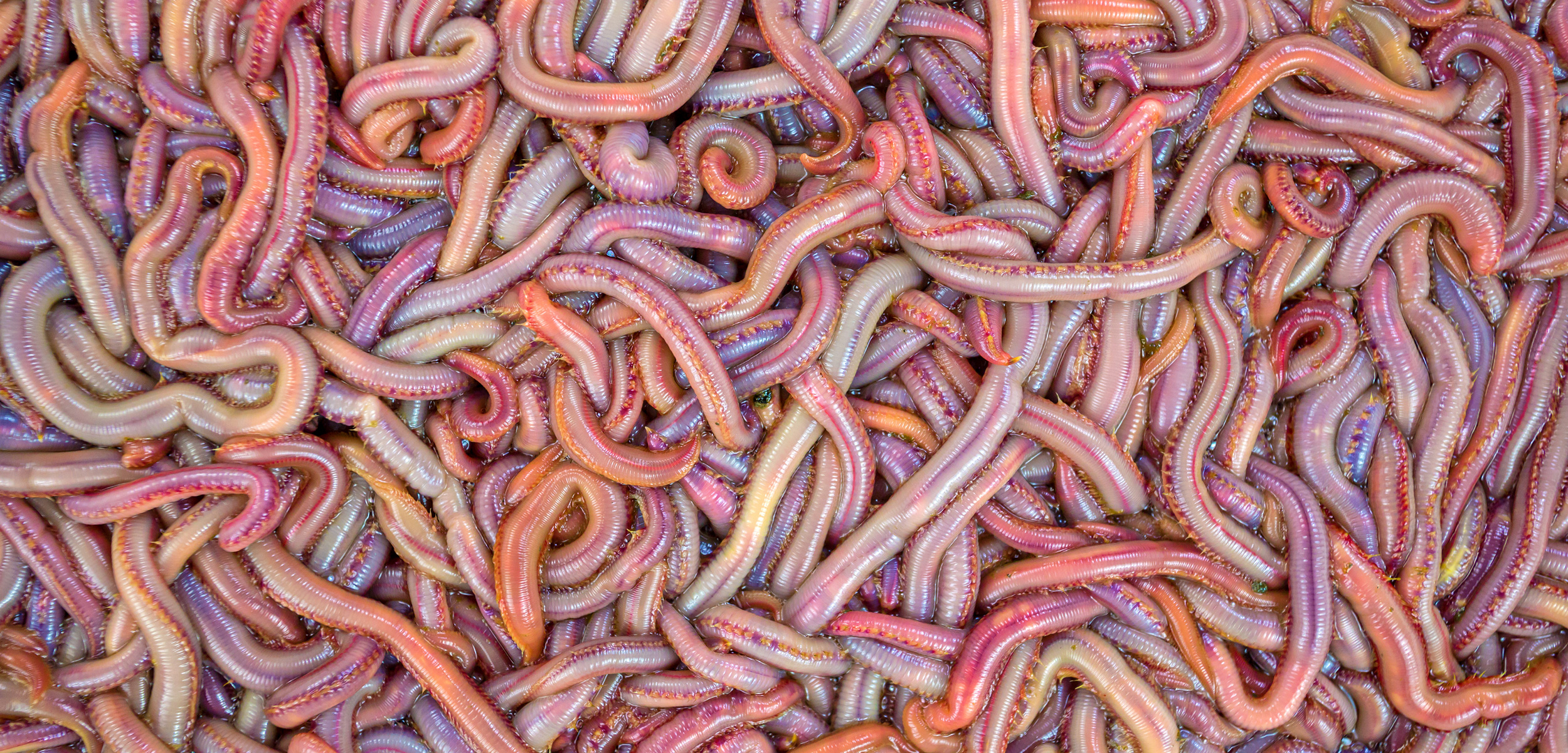 bloodworms