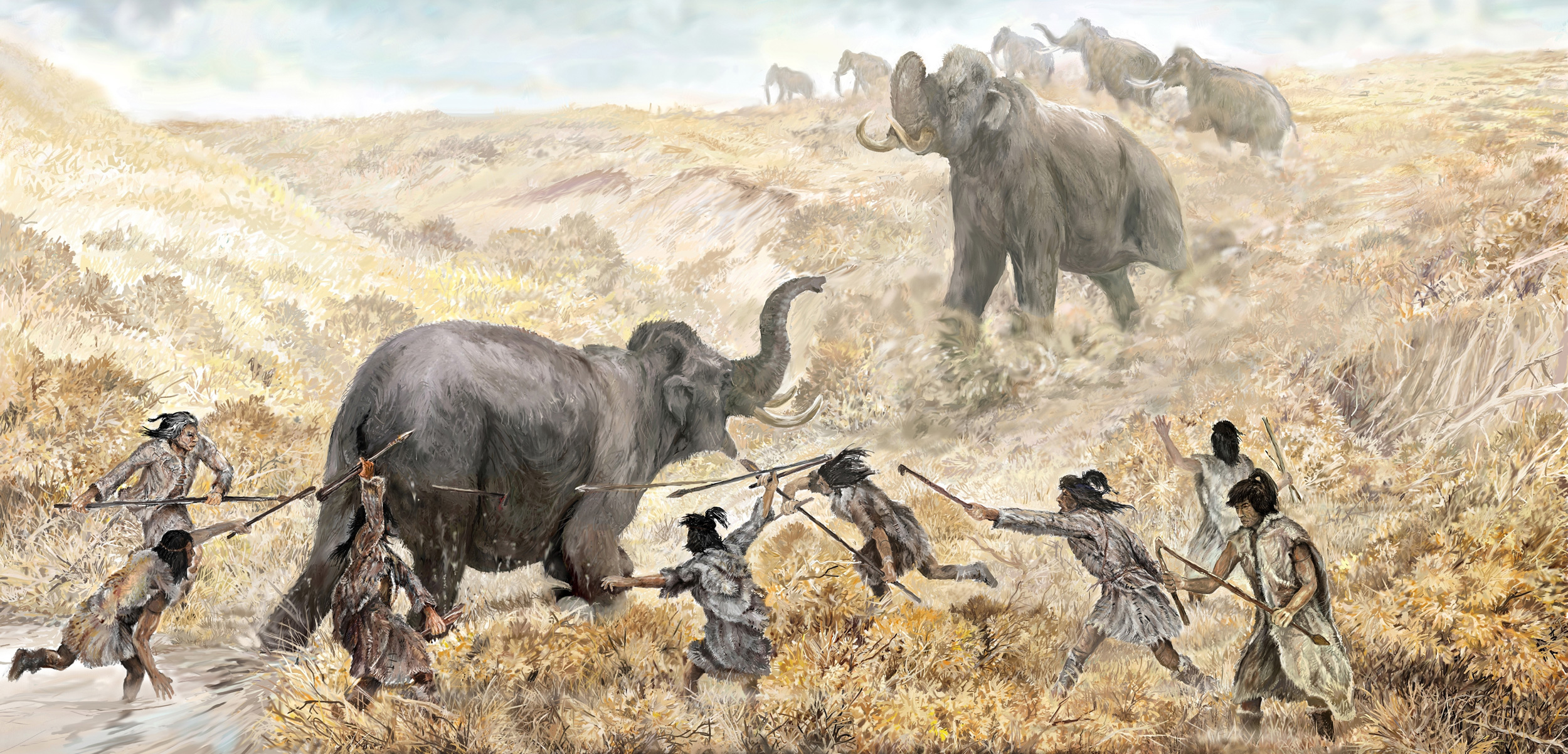 Clovis hunters cut off the escape of a wooly mammoth near the end of the last ice age. For decades, archaeologists thought that Asian migrants first reached the Americas around 13,000 years ago, and swiftly migrated southward to what is now the United States. Their descendants, the Clovis people, were said to be the first Americans. Illustration by Field Museum Library/Getty Images