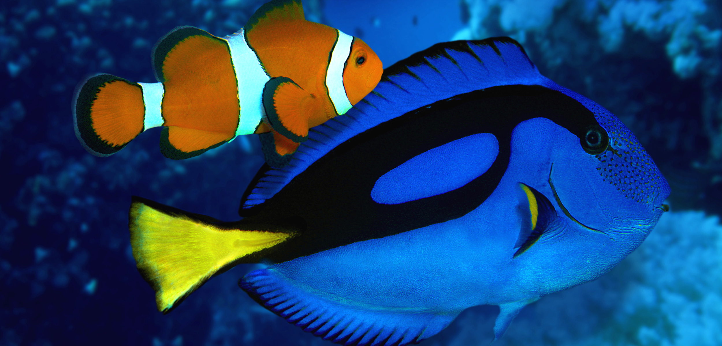 Clownfish and blue tangs are the real-life inspiration for the characters Nemo and Dory in the films, Finding Nemo and the forthcoming Finding Dory. The release of Finding Nemo saw a spike in the aquarium trade for clownfish, and researchers are anticipating the same situation after Finding Dory launches. Photo by Juniors Bildarchiv GmbH/Alamy Stock Photo