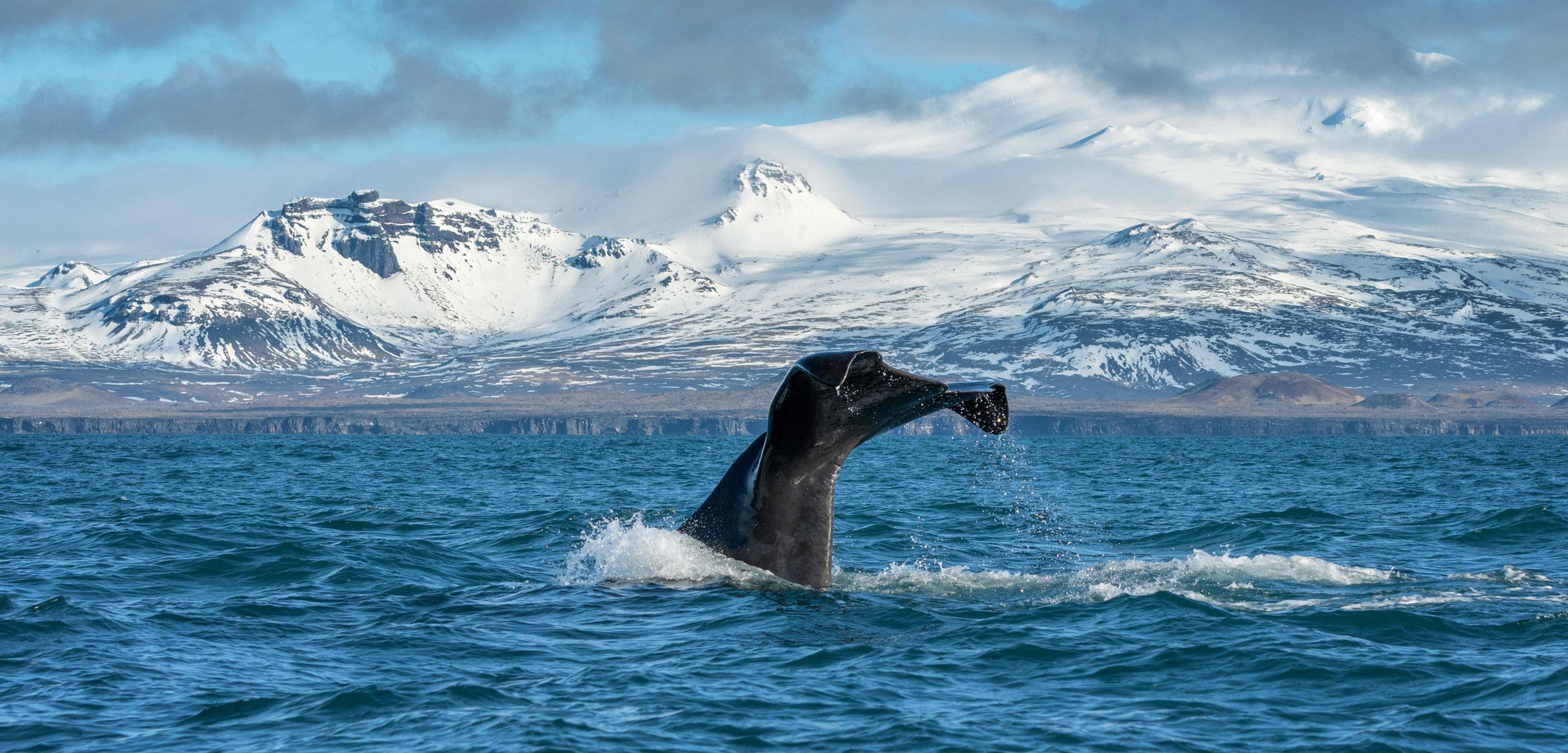 sperm whale tail, Iceland