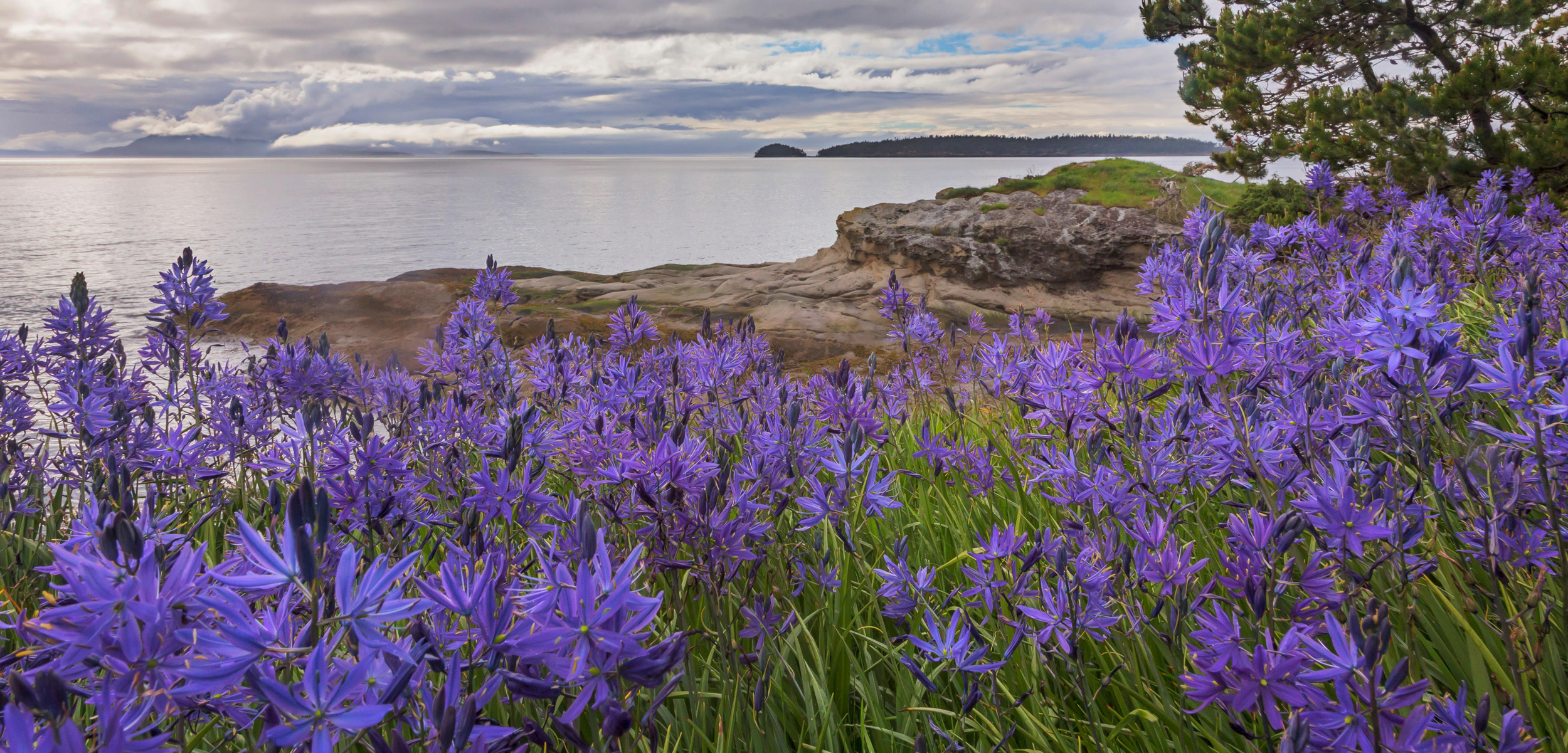Camas blossoms, Washington, San Juan Islands, Sucia Island