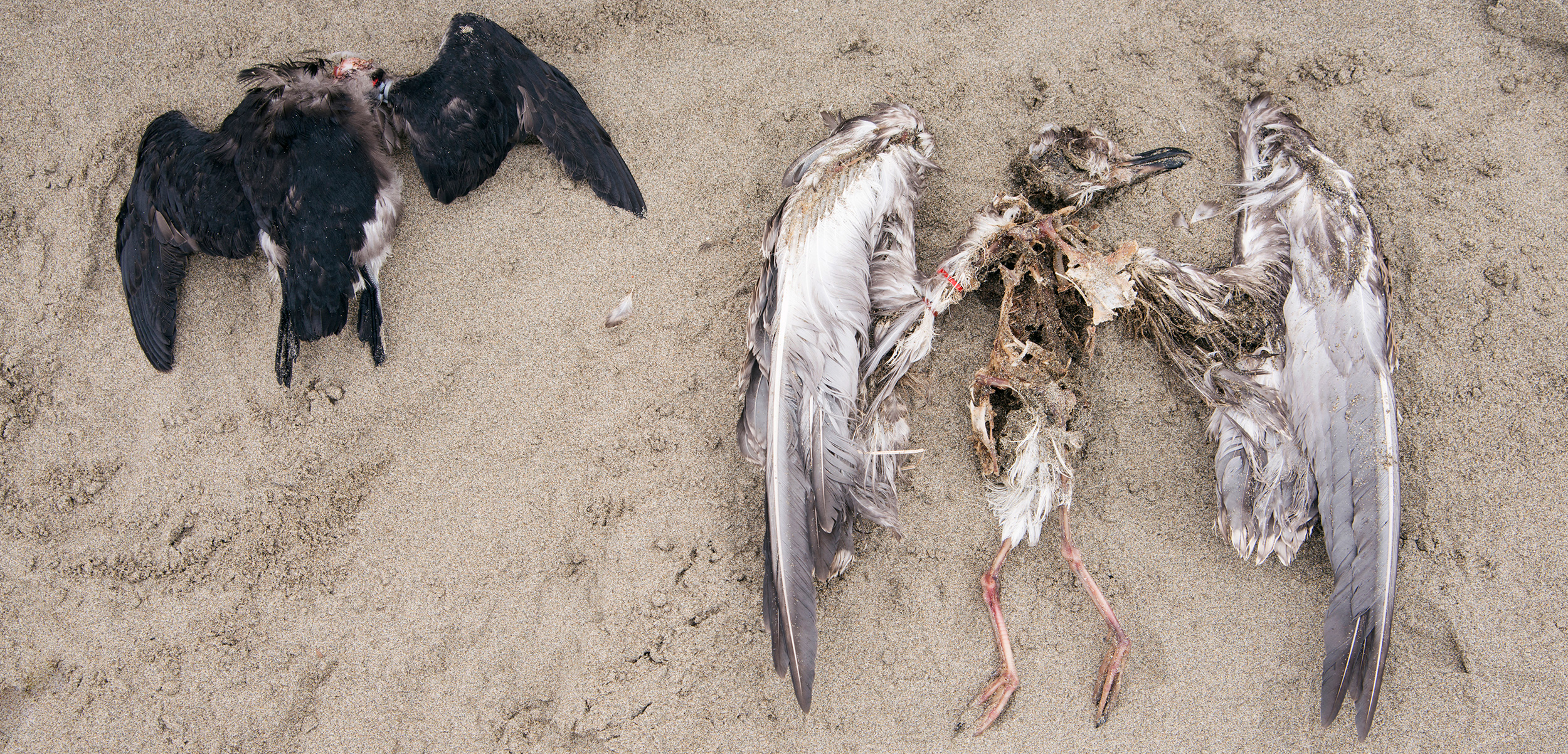 Volunteers on the Coastal Observation and Seabird Survey Team (COASST) regularly walk beaches from Alaska to Northern California in search of seabird casualties, such as this headless rhinoceros auklet (left) and immature gull of an undetermined species. Photo by Shanna Baker
